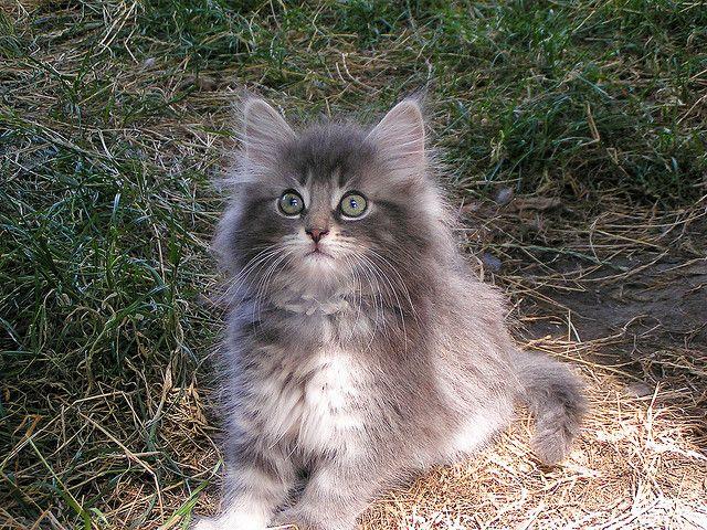 The Norwegian Forest Cat Love Meow Norwegian Forest Cat Forest Cat Norwegian Forest Kittens