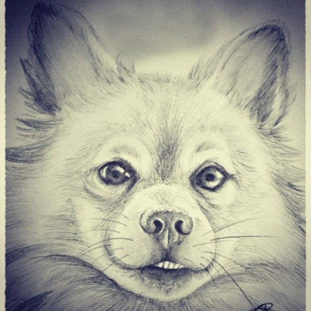 commission request pet portrait dog puppy pomeranian cross