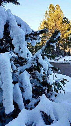 Snowcapped spruce photo ChelseaLynn