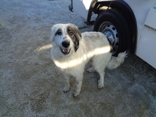 Pet Id 12132016c D05 R Nbreed Border Collie R Nage 2 Years R