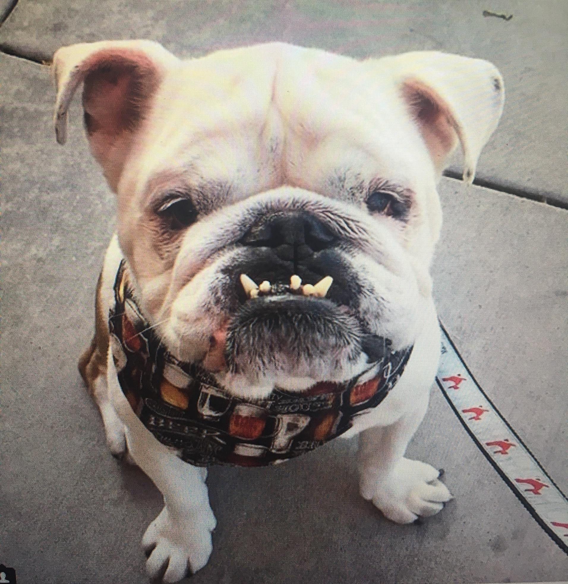 mac and i love turtle! 😍 english and french bulldog mix