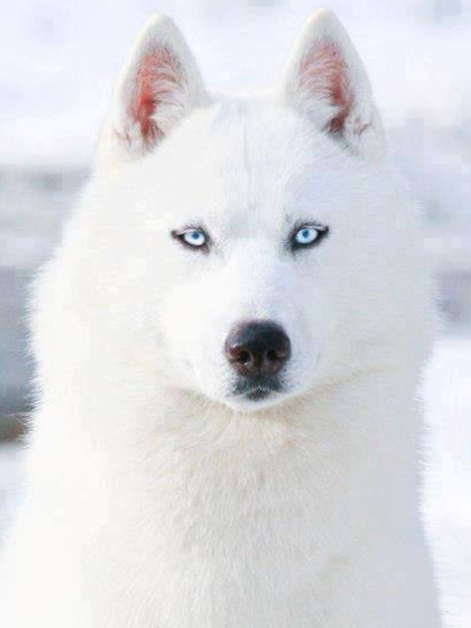 White Siberian Husky With Blue Eyes