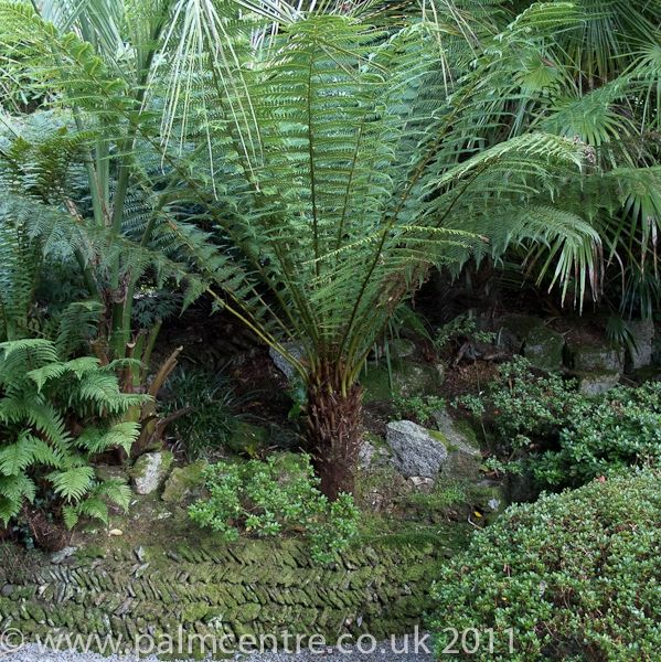 Dicksonia Antartica Tree Fern For Sale From Palm Centre Trees To Plant Ferns For Sale Tree Fern