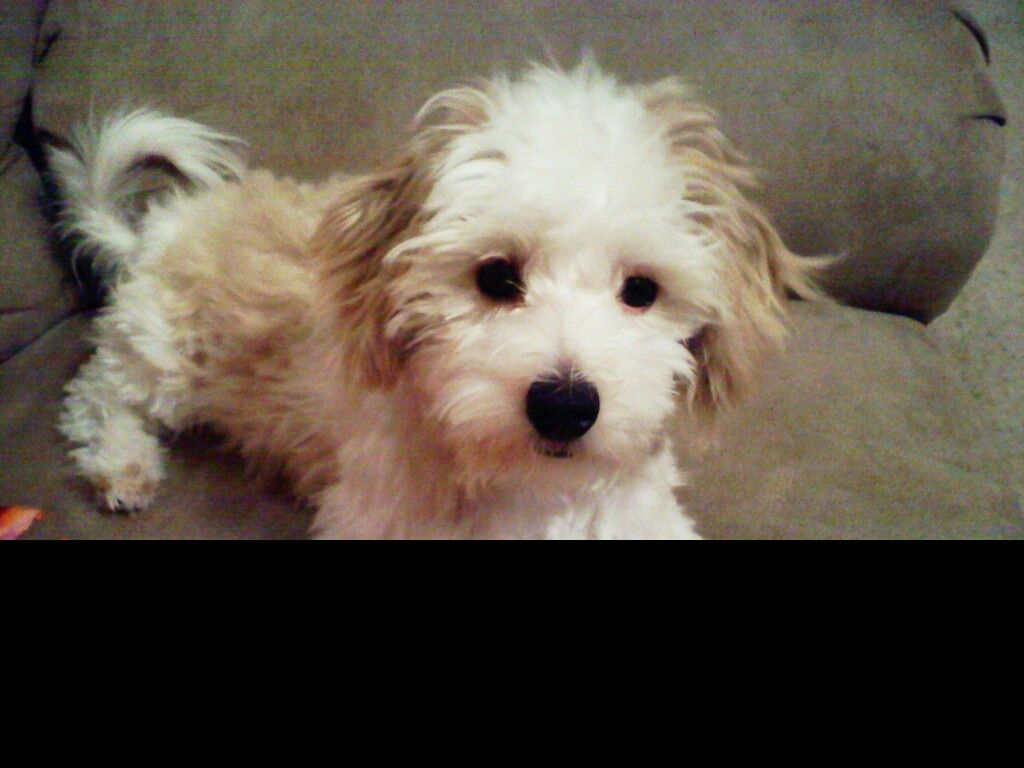 Pin By Raina King On Animals Poodle Mix Poodle Mix Dogs Poovanese