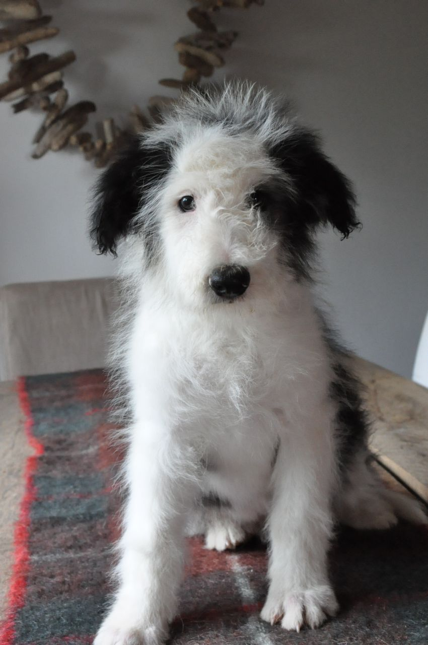 Bearded Collie Puppies Lydney Gloucestershire Pets4homes Bearded Collie Bearded Collie Puppies Collie Puppies