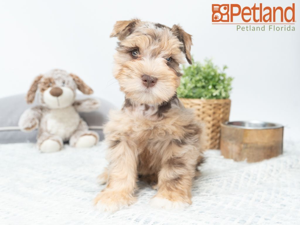 Petland Florida has Miniature Schnauzer puppies for sale