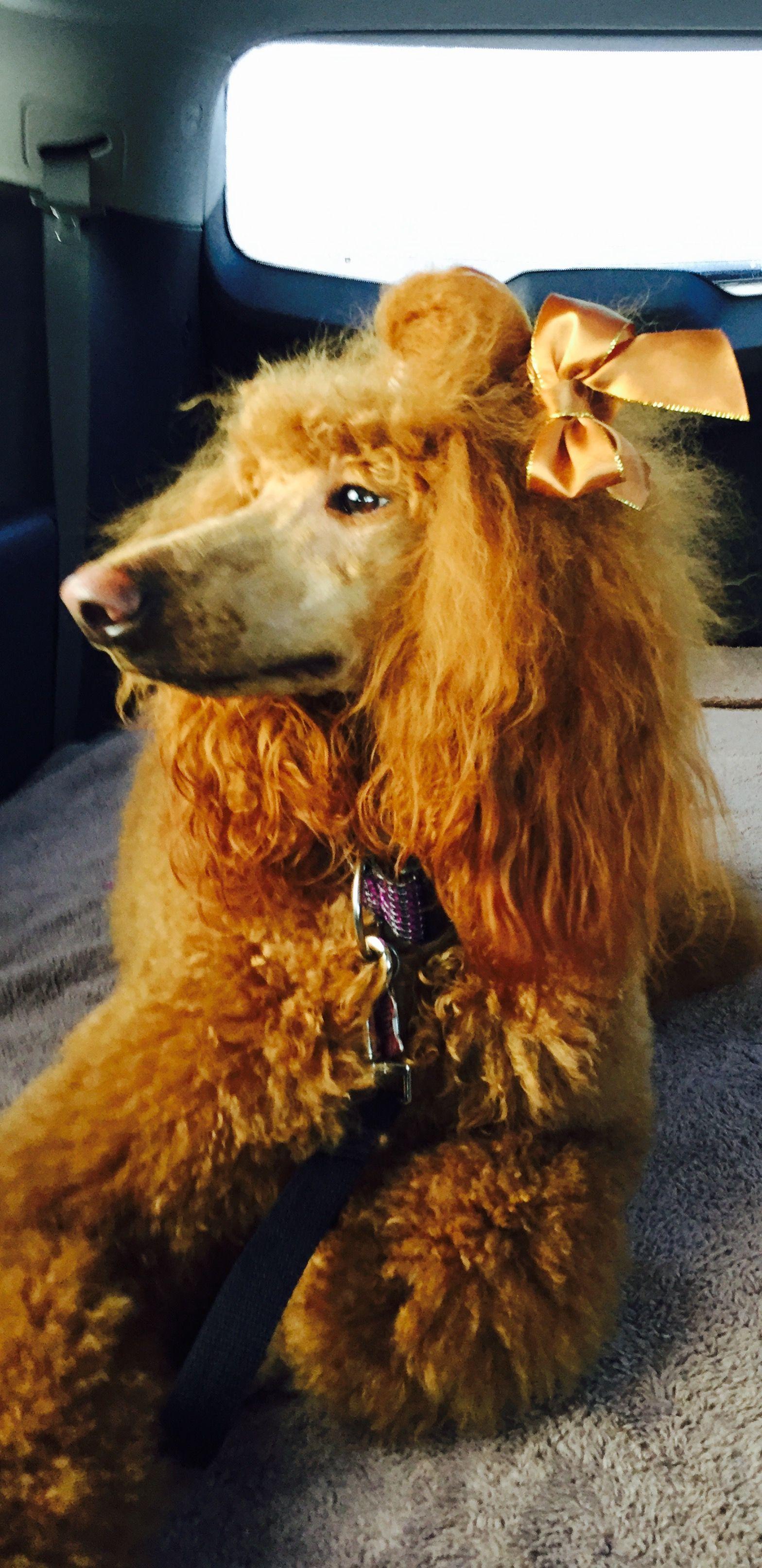 Pin By Carol Cibik On Chanel Dog Dye Dog Love Standard Poodle