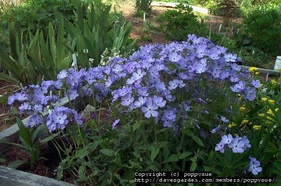 View Picture Of Phlox Species Louisiana Blue Woodland Phlox