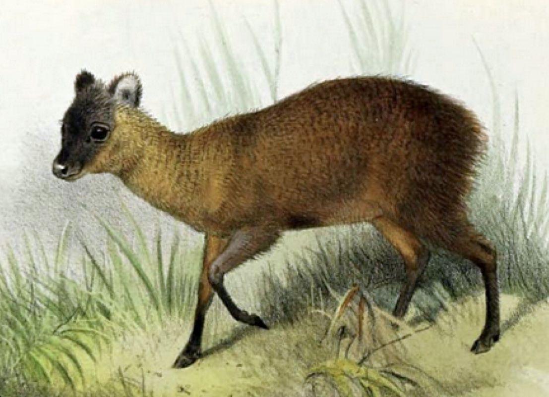 animal in 2020 Wildlife conservation society, Deer