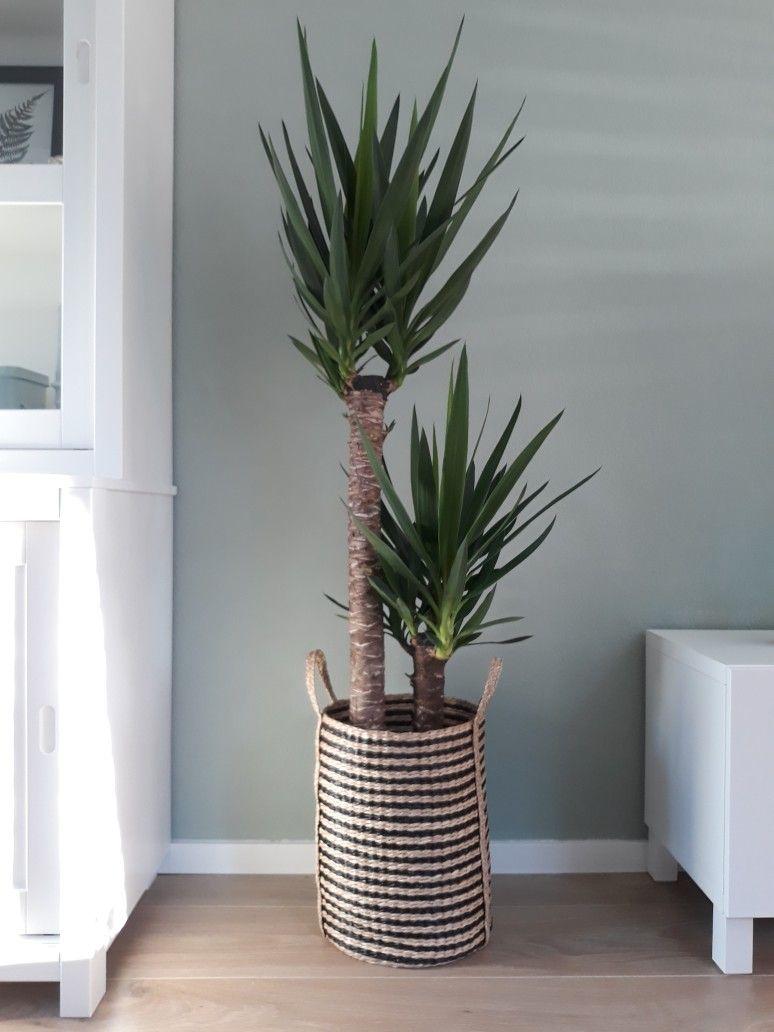 Rieten Manden Voor Planten.Yucca Plant In Rieten Mand In 2019 Yucca Plant Rieten