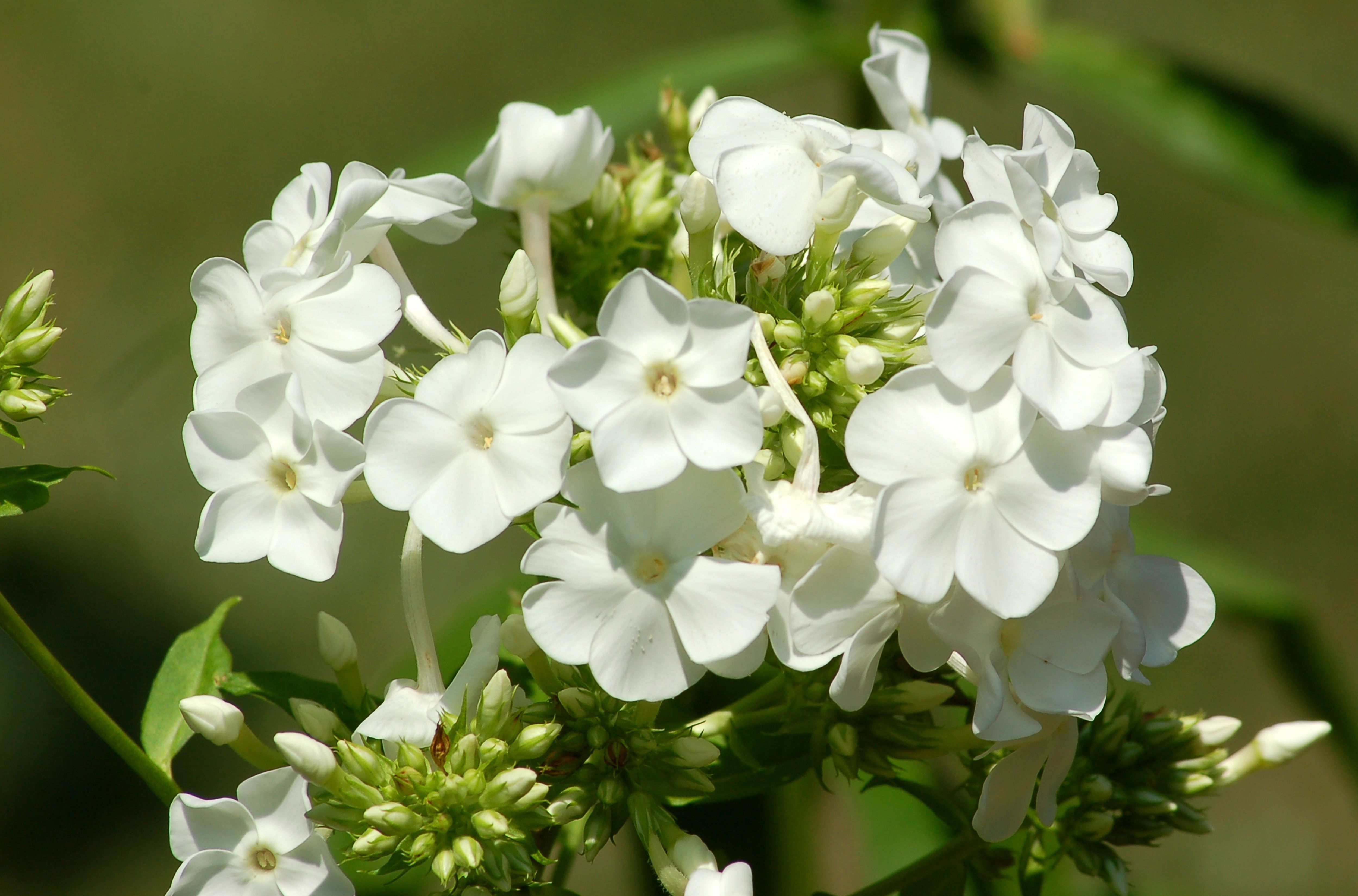 Don T Be Without David Garden Phlox For Another Summer Kwiaty
