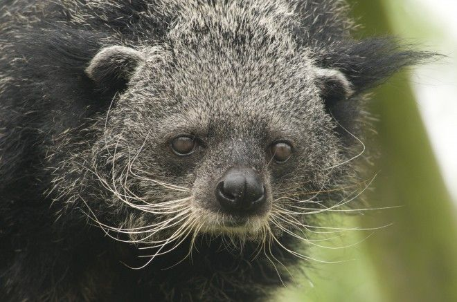 What has a face like a cat, a body like a small bear, and a tail like a monkey? It's a binturong, also known as a bearcat