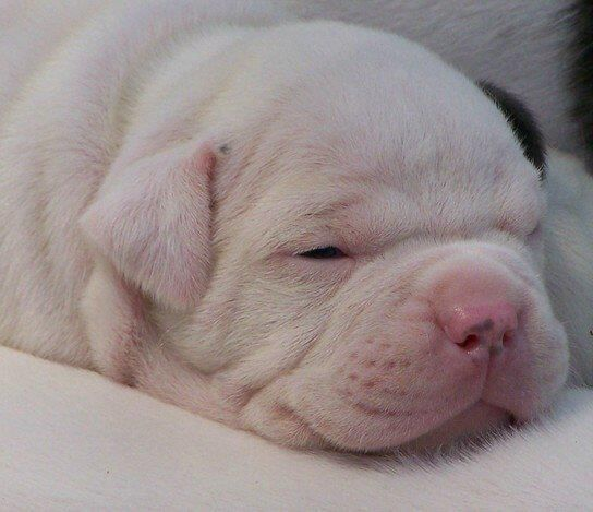 American Bulldog Newborn Puppies Yorkshire Terrier Puppies American Bulldog