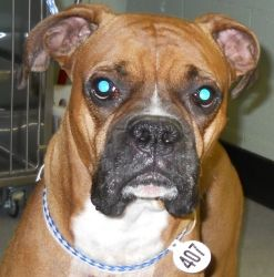 Adopt Pete Rose On Pete Rose Boxer Dogs Boxer Rescue