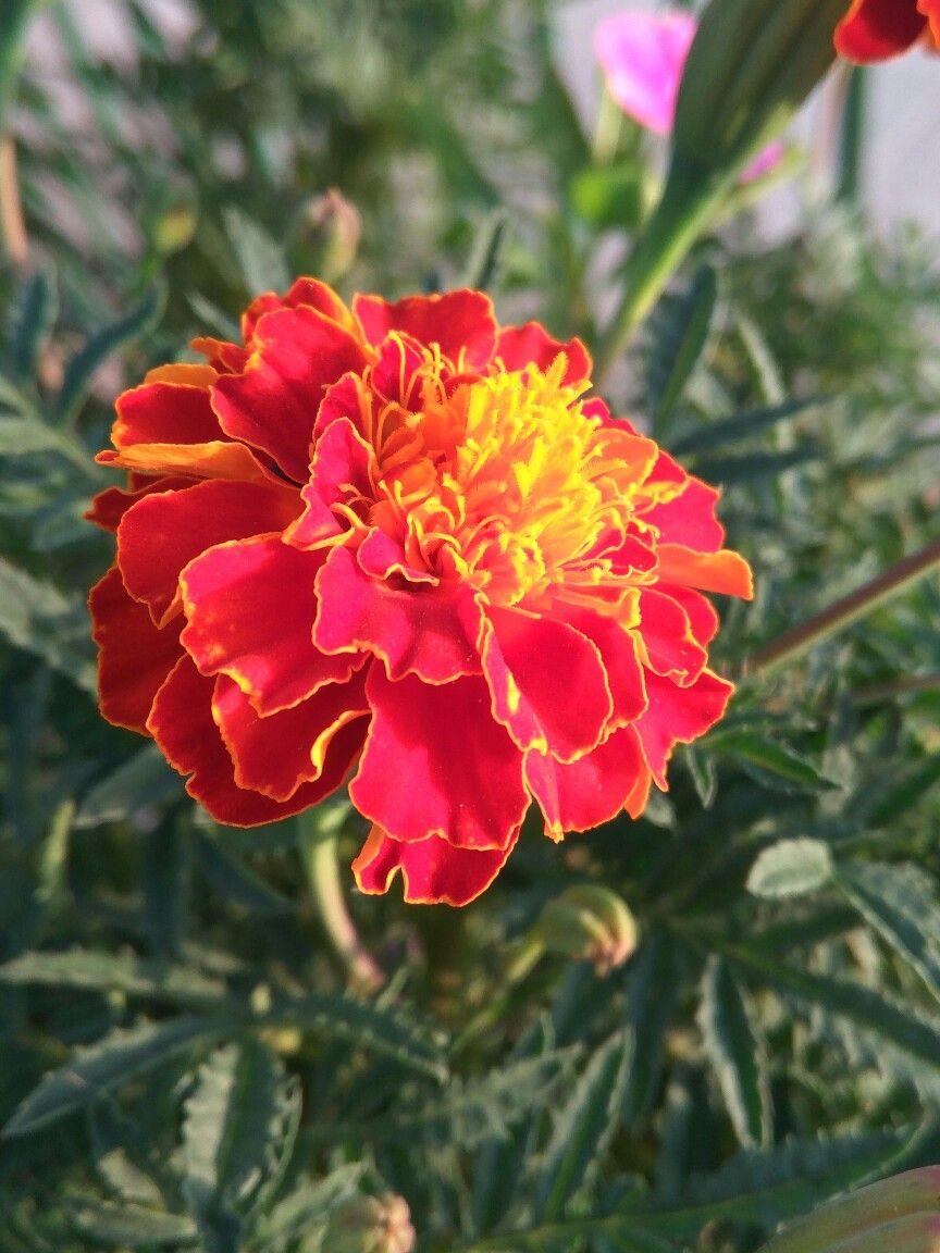 Roja Y Amarilla Flores De Colores Rojo Y Amarillo Flores