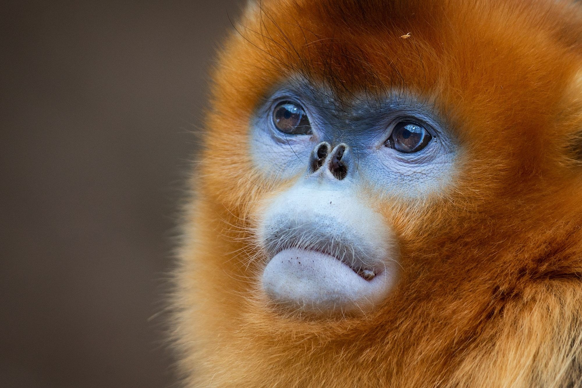 Golden Snub Nosed Monkey China Close Up Of A Golden Snub Nosed Monkey Showing The Bizarre Nose Of The Primate Don T Know If It Has Primates Monkey Animals