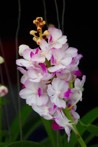 82+ Gambar Bunga Orkid Yang Cantik Kekinian
