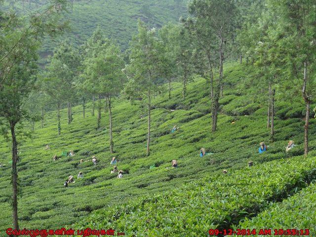 Kerala Tea Estate Workers