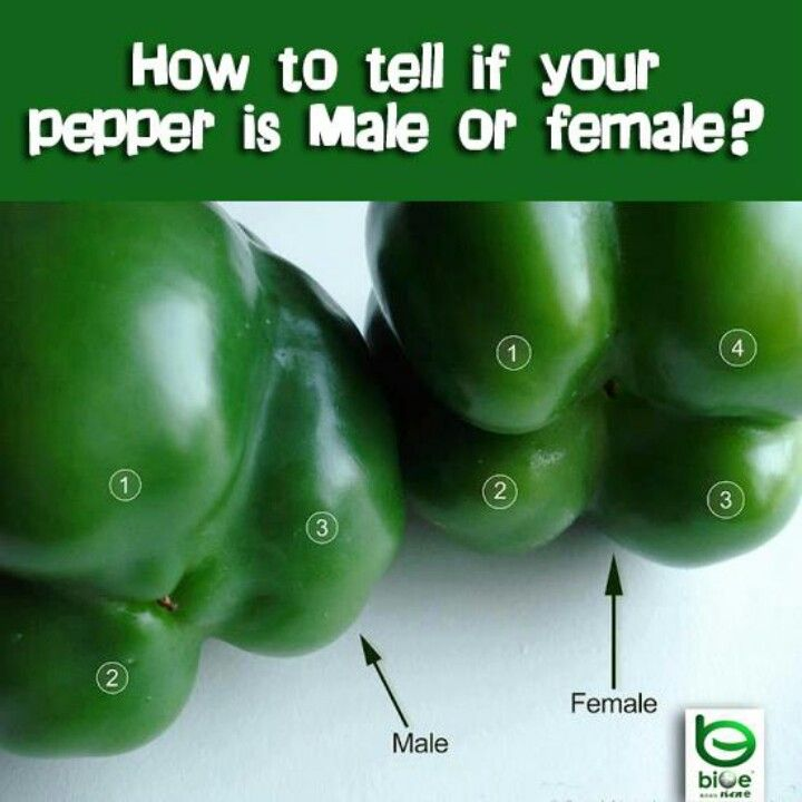 Pepper Gender Males Have 3 Bumps On The Bottom And Females Have