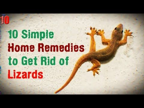 e8c08fb0df39a8c26b203ece2d7fc12e - How To Get Rid Of Wall Lizards At Home