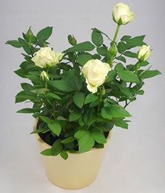 MINIATURE ROSES IN A POT   WHITE FLOWERS