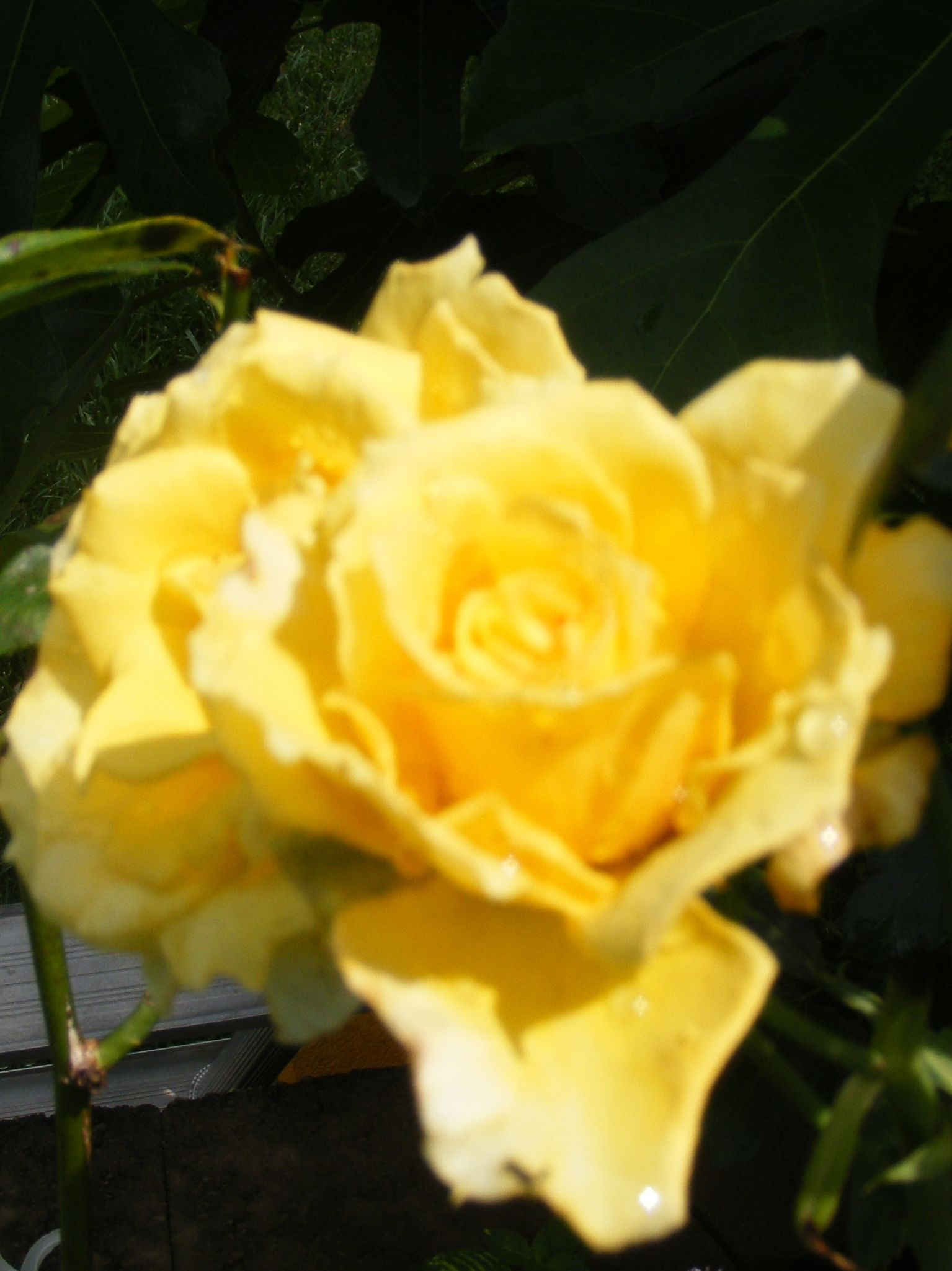 Yellow rose of Georgia