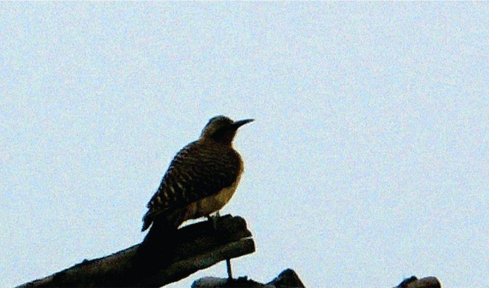 Pitu, pájaro minero, 4700 msnm,