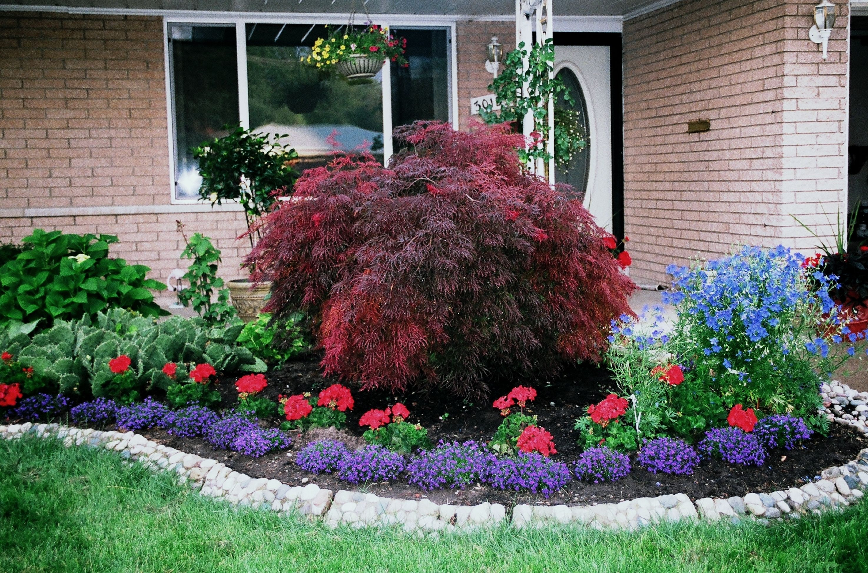 Red Geraniums Blue Lobelia With Japanese Maple Stone Flower Bed