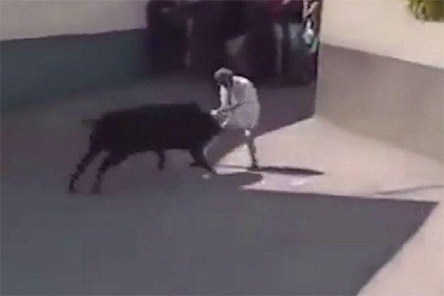 Na gravação feita por um cinegrafista amador, animal atinge idoso na barriga e o lança para o alto