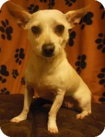 Gary, IN - Chihuahua Mix. Meet ChiChi, a dog for adoption. http://www.adoptapet.com/pet/8336755-gary-indiana-chihuahua-mix