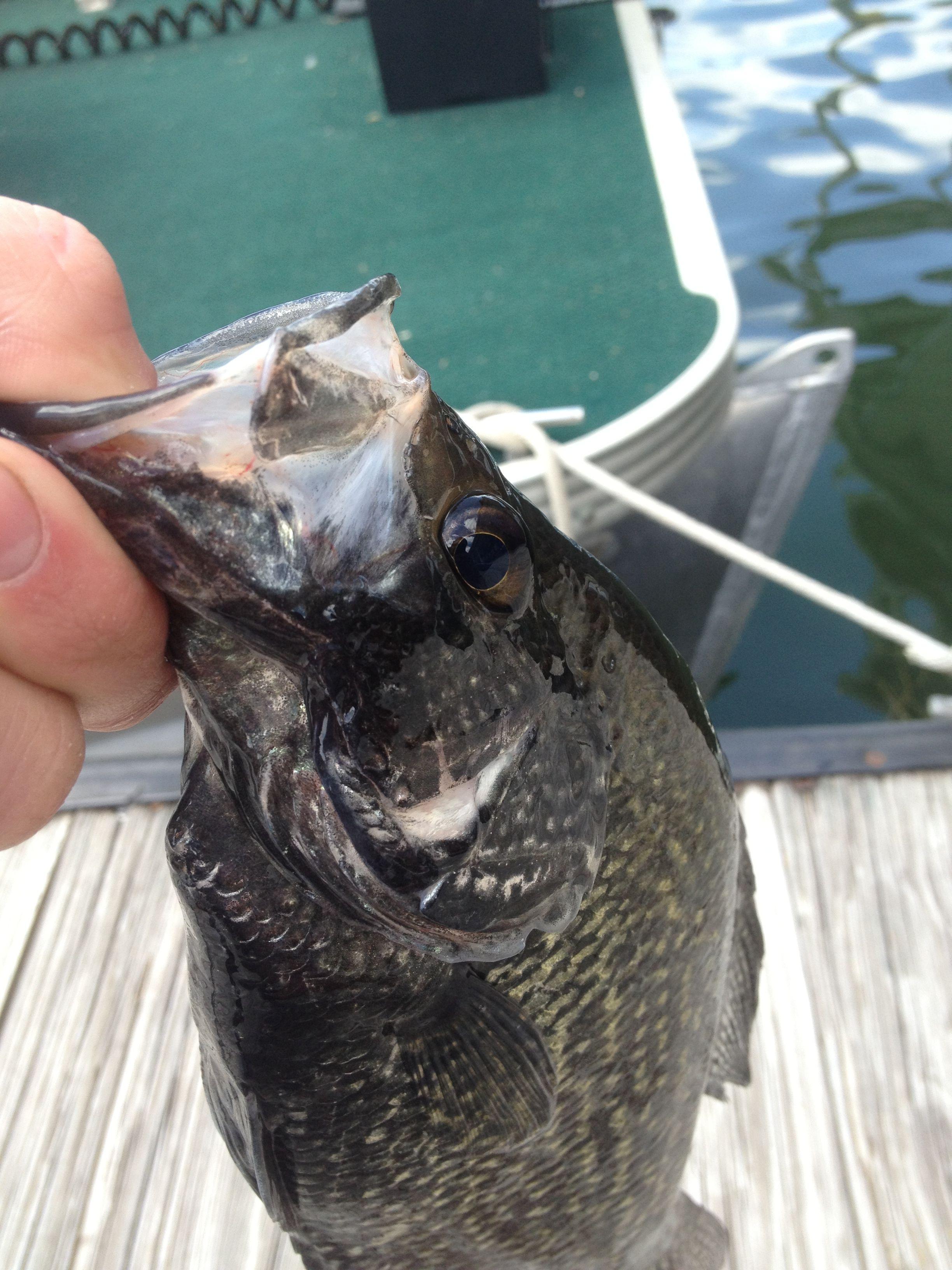 Black Crappie. South Holston lake   Fish, Crappie, Food  Crappie Lake Food Chain