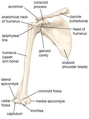 Skeletal System Diagrams | Anatomy | Pinterest | Diagram, Anatomy ...