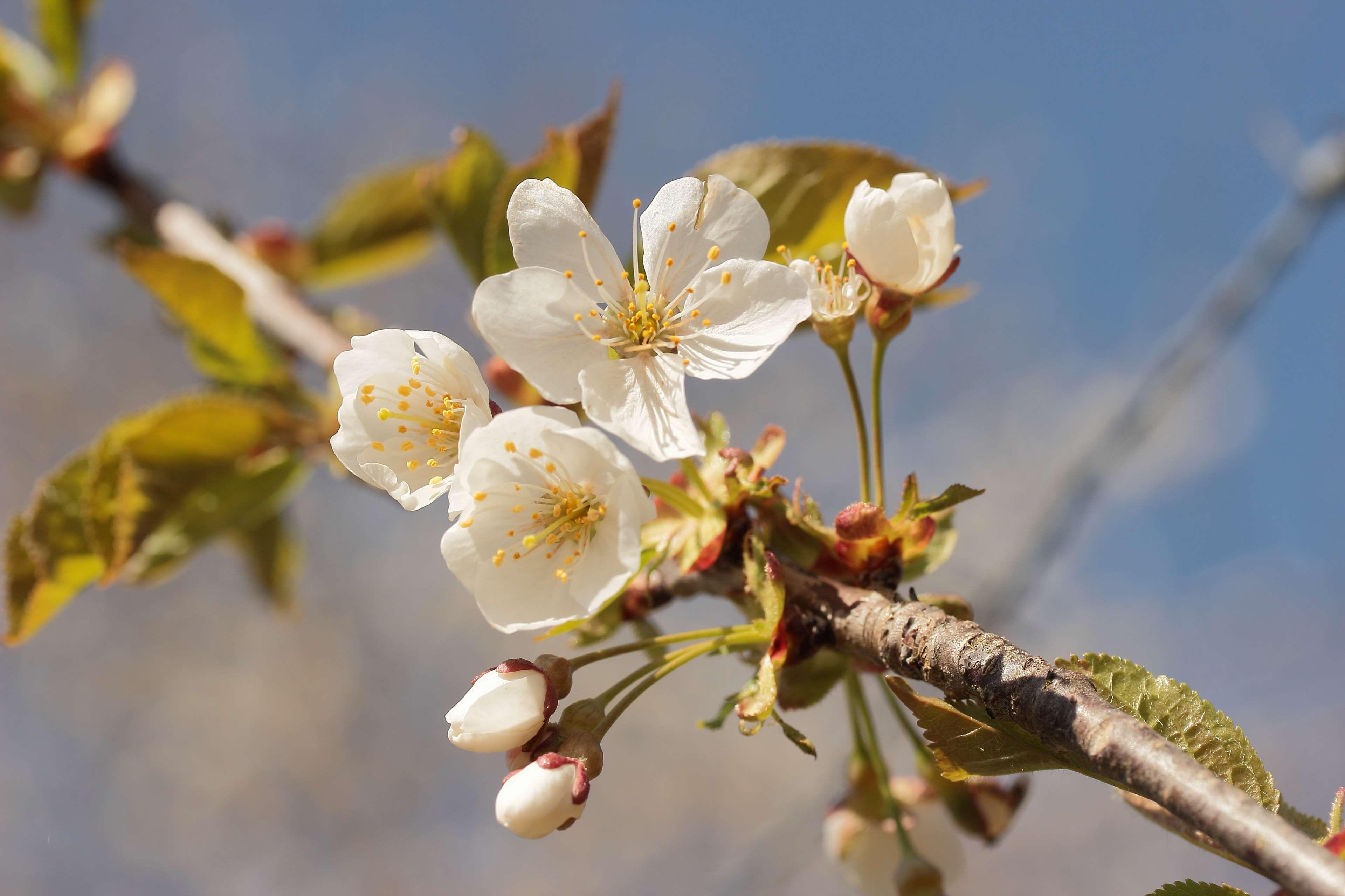 apple blossom, bloom, blossom, fruit tree, nature, spring