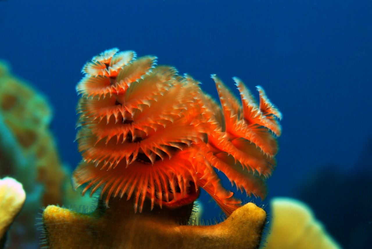 Played With Christmas Tree Worms On Coral Get Near Them And They Disappear Into The Rock Christmas Cruises Cruise Carnival Cruise