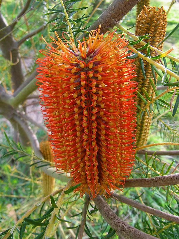 Banksia Ericifolia Australian Native Plants Screen Plants Australian Plants