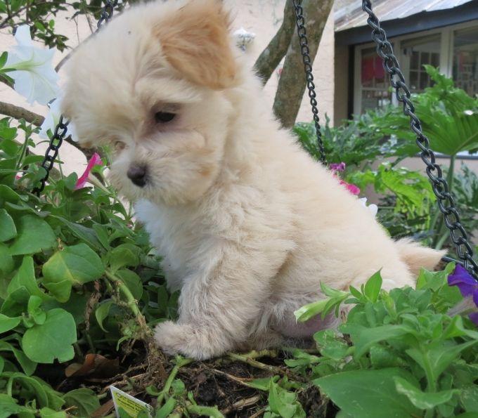 Morkie Pup It S So Cute Morkie Puppies Cute Animals Animals Beautiful