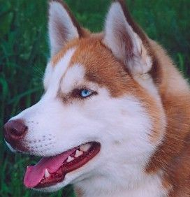 Red Siberian Husky Hope You Re Doing Well From Your Friends At