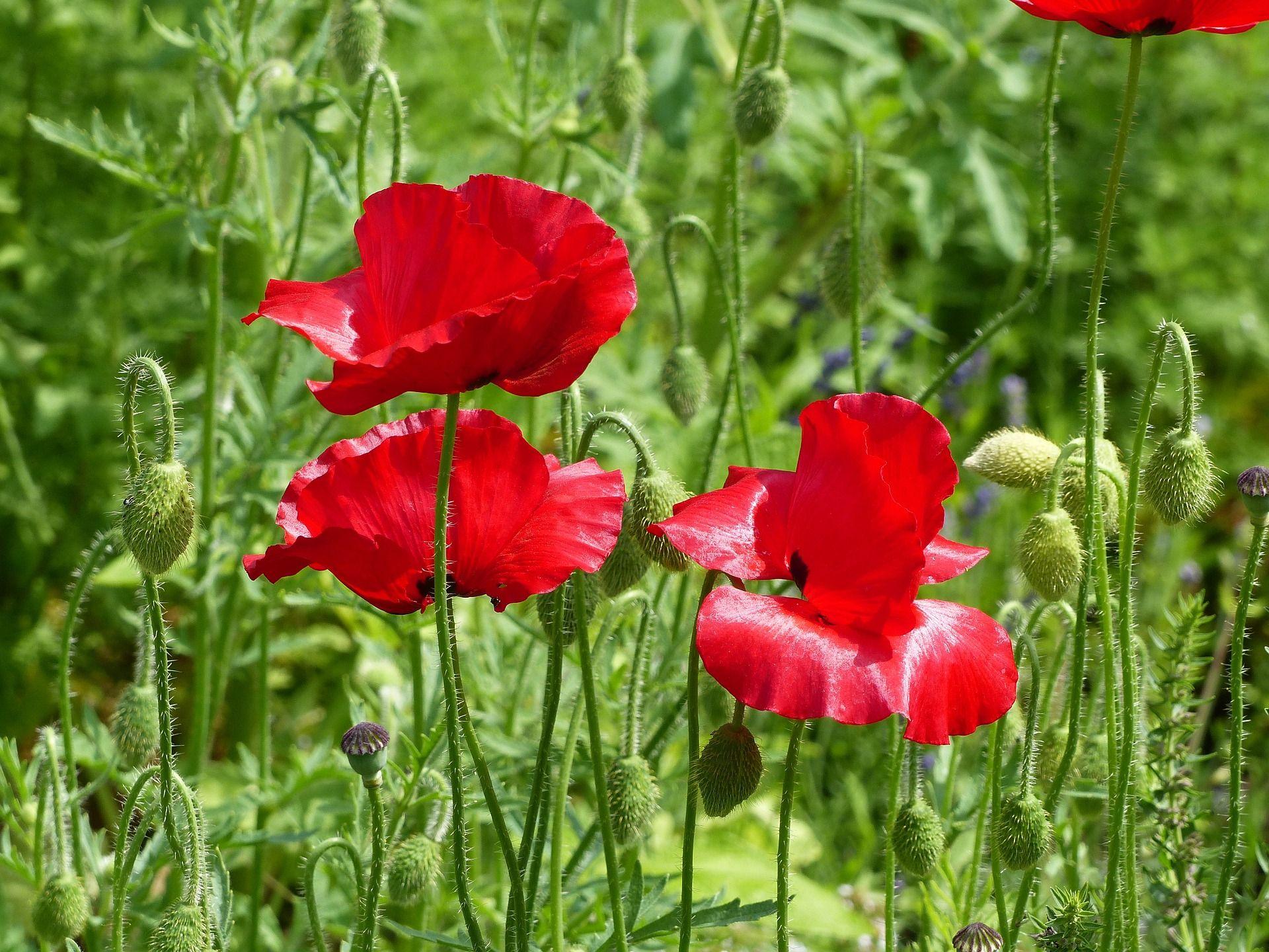 poppy-837202_1920.jpg (1920×1440)