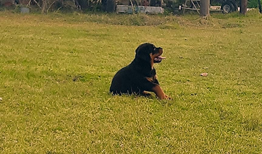 Dallas Male Akc Rottweiler Puppy For Sale In Huger South
