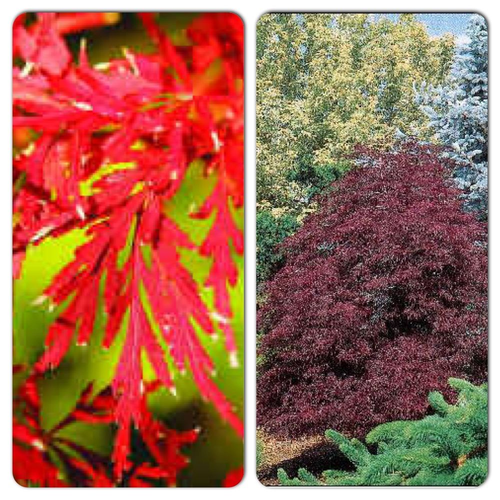 First Red Dragon Japanese Maple Acer Palmatum Dissectum Dragon Acer