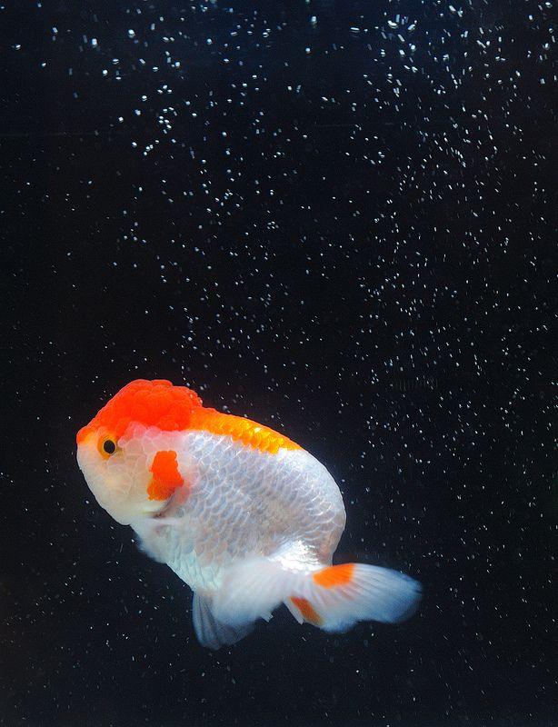 Swimming In The Galaxy Oranda Goldfish Goldfish Art Goldfish Wallpaper