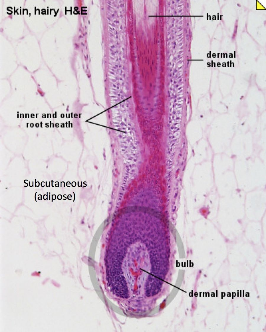 Skin wth Hair Follicle in SubQ - Histology | Histology - Skin ...