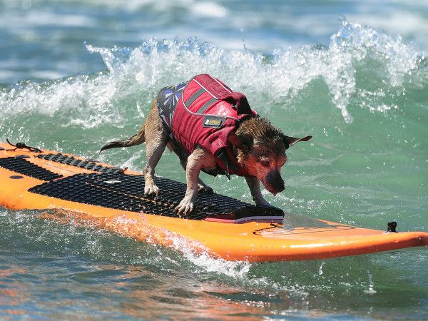 Watch Surfing Goat And 5 Other Animals That Catch Waves Dog Competitions Surfing Pet Goat