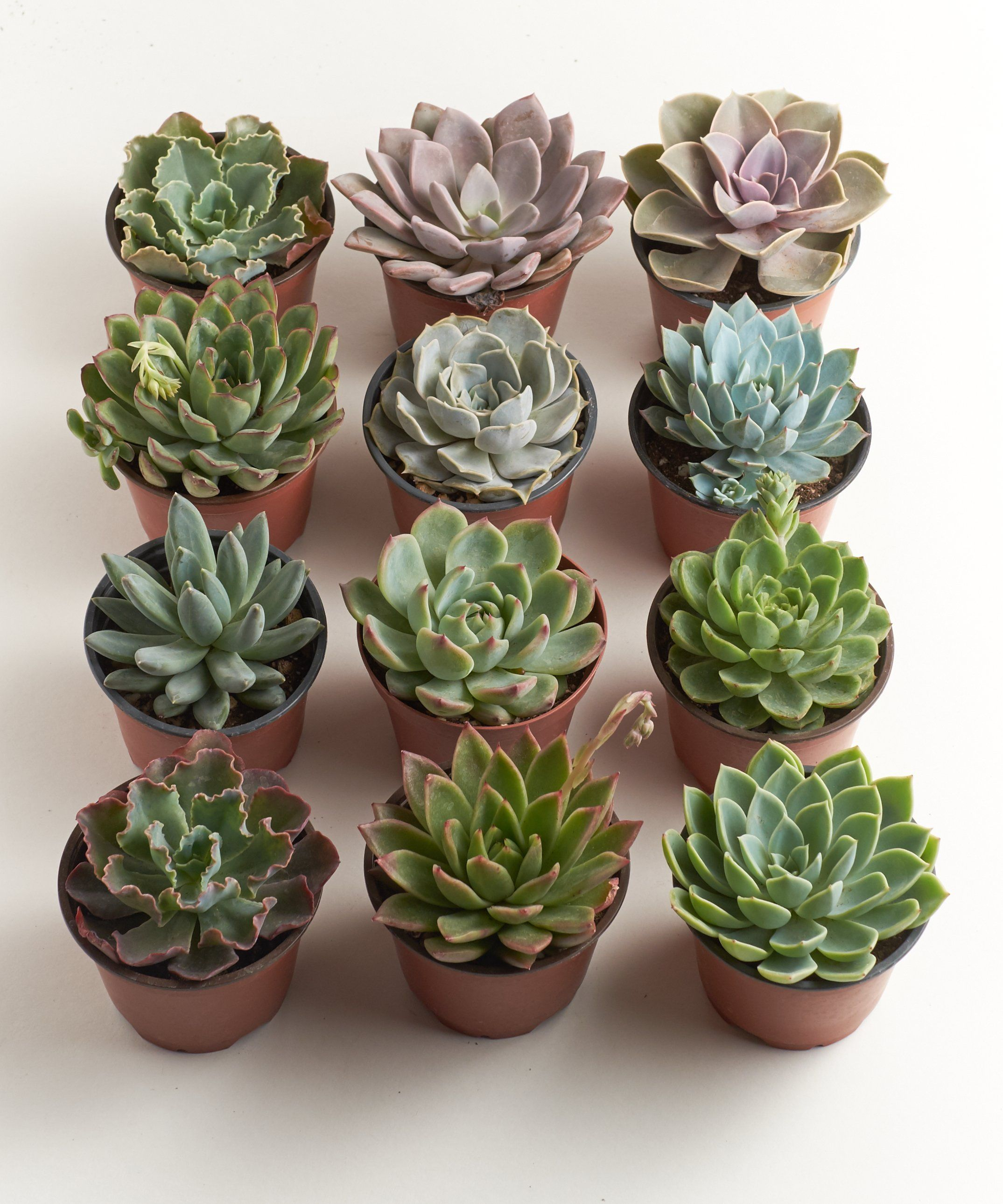 This Collection Includes Stunning 4 Inch Rosette Succulent Assortments That