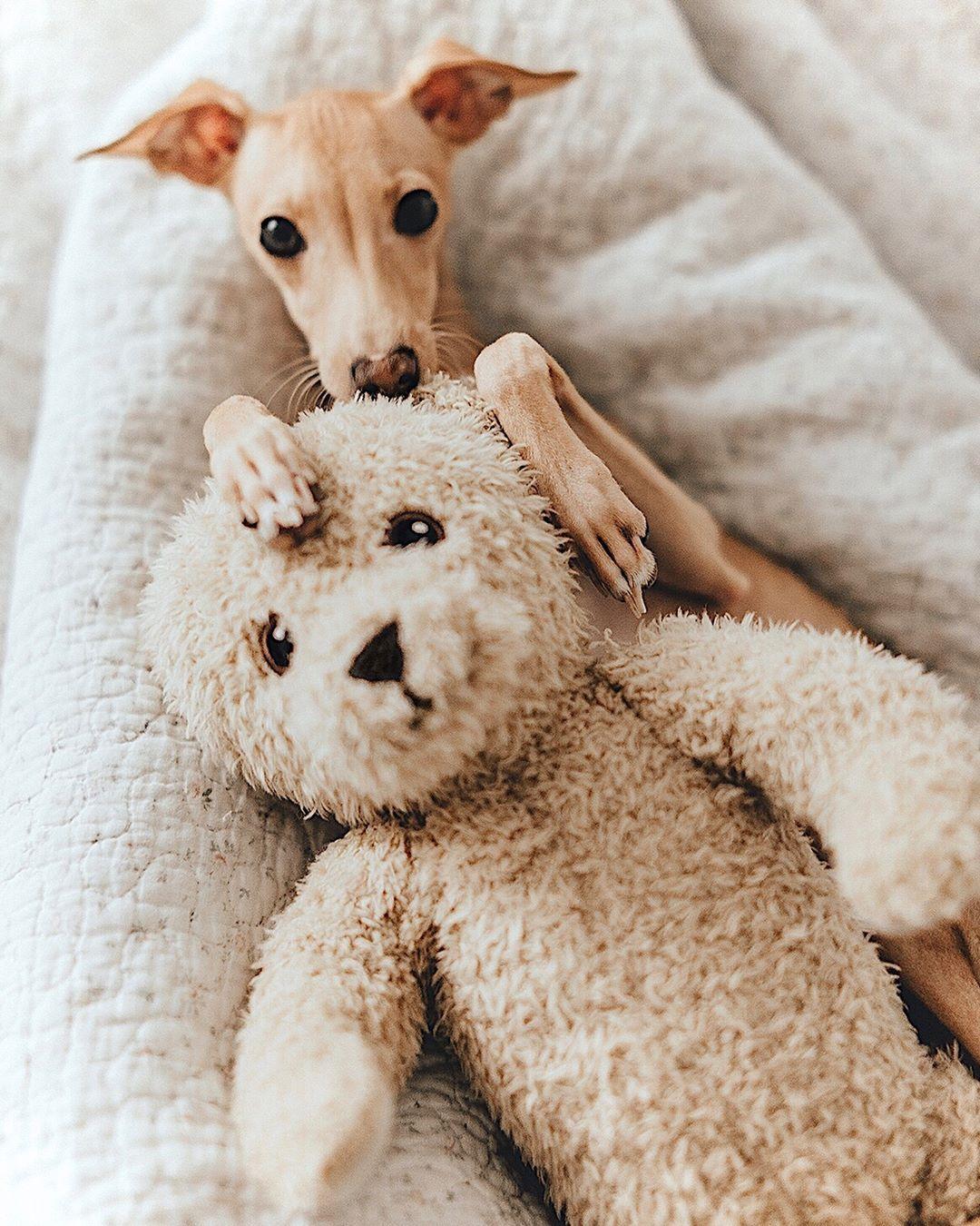 Italian Greyhound Cuddling With A Teddy Bear Teddy Dog Italian Greyhound Puppies Greyhound Puppy