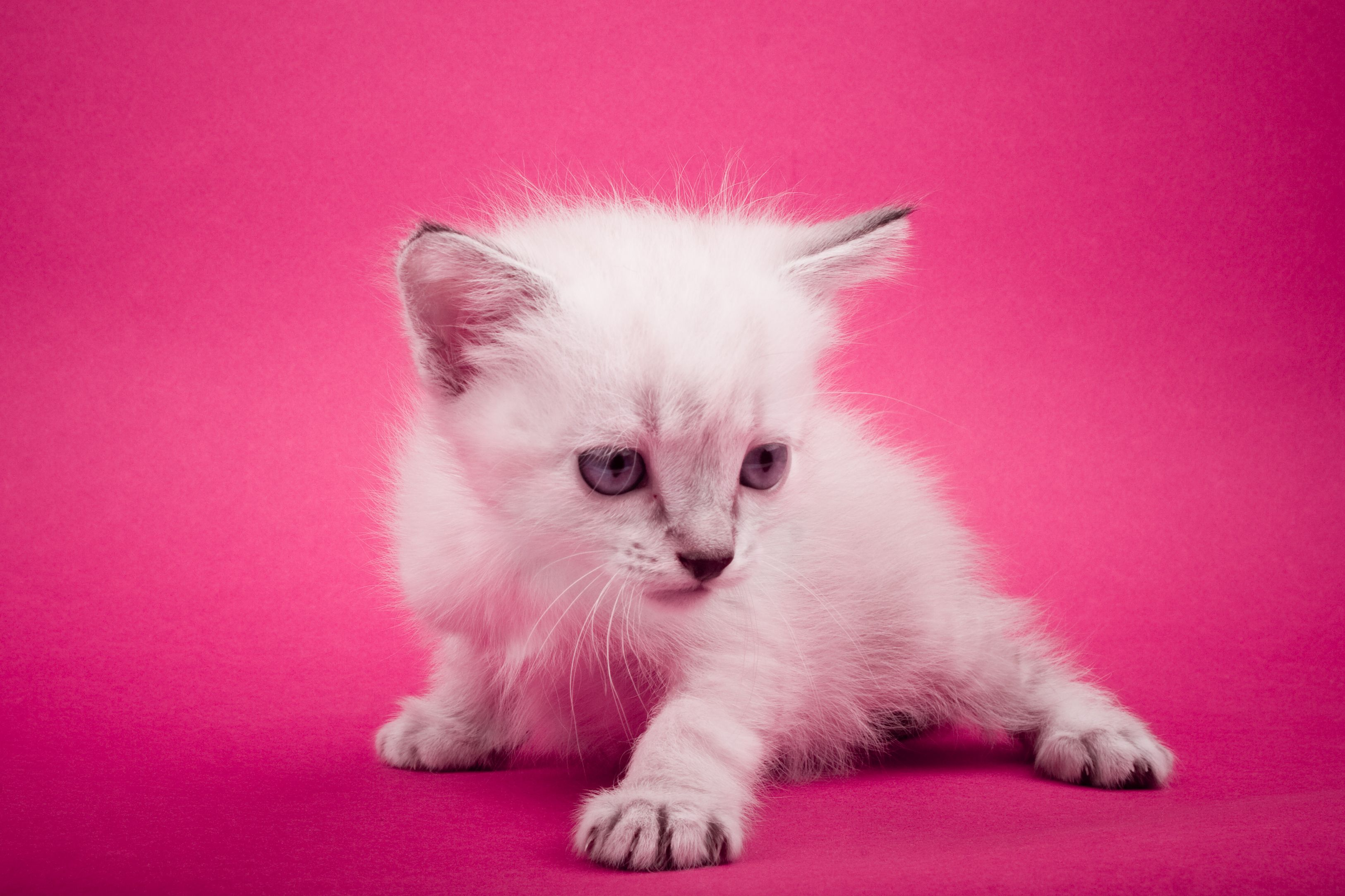 Meow animal pink Cute animals, Newborn kittens, Fluffy