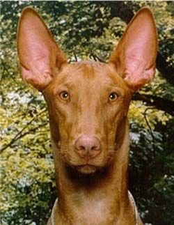 pharaoh hound puppies for sale