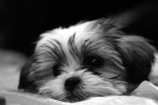 Shitzu Maltese Mix Puppy By Ryan Houston Maltese Puppy Shitzu Maltese Shih Tzu