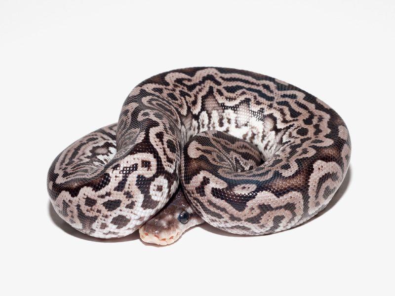 Super Lori Morph List World Of Ball Pythons Ball Python Ball Python Morphs Cute Snake