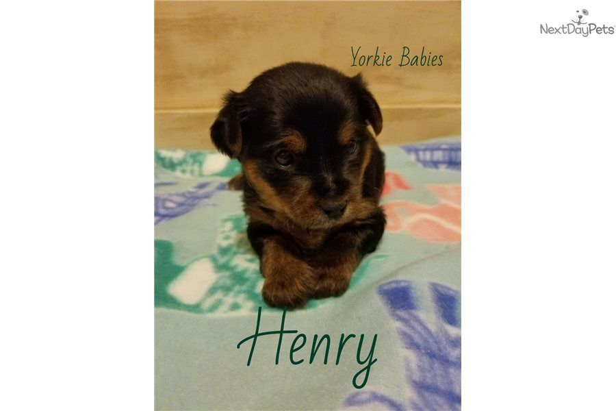 Male Yorkshire Terrier Yorkie Puppy For Sale Near Des Moines